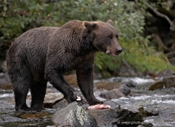 brown-bear-alaska-1276-copyright-photographers-on-safari-com