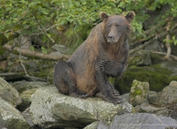 brown-bear-alaska-1278-copyright-photographers-on-safari-com