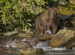 brown-bear-alaska-1279-copyright-photographers-on-safari-com