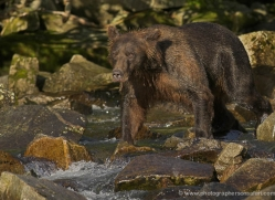 brown-bear-alaska-1283-copyright-photographers-on-safari-com