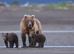 brown-bear-alaska-1284-copyright-photographers-on-safari-com
