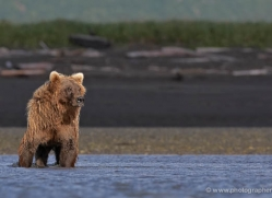 brown-bear-alaska-1286-copyright-photographers-on-safari-com