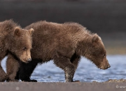 brown-bear-alaska-1287-copyright-photographers-on-safari-com