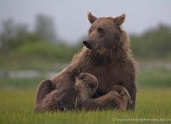 brown-bear-alaska-1289-copyright-photographers-on-safari-com