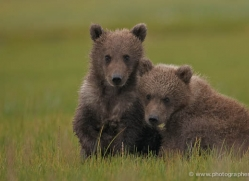 brown-bear-alaska-1290-copyright-photographers-on-safari-com