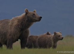 brown-bear-alaska-1291-copyright-photographers-on-safari-com