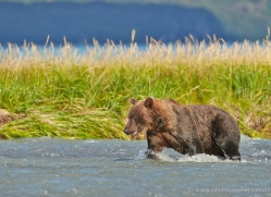 brown-bear-alaska-1292-copyright-photographers-on-safari-com