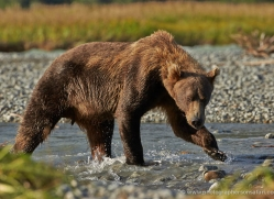 brown-bear-alaska-1293-copyright-photographers-on-safari-com