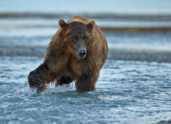 brown-bear-alaska-1296-copyright-photographers-on-safari-com