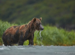 brown-bear-alaska-1297-copyright-photographers-on-safari-com