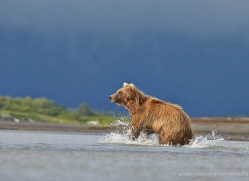brown-bear-alaska-1298-copyright-photographers-on-safari-com