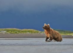 brown-bear-alaska-1299-copyright-photographers-on-safari-com