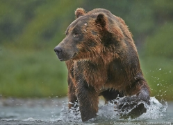 brown-bear-alaska-1300-copyright-photographers-on-safari-com