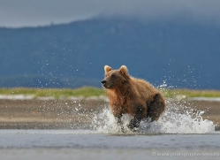 brown-bear-alaska-1302-copyright-photographers-on-safari-com