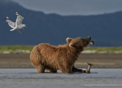 brown-bear-alaska-1304-copyright-photographers-on-safari-com