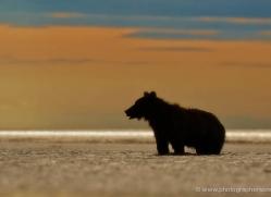 brown-bear-alaska-1305-copyright-photographers-on-safari-com