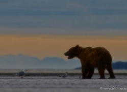 brown-bear-alaska-1306-copyright-photographers-on-safari-com