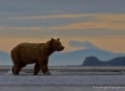 brown-bear-alaska-1307-copyright-photographers-on-safari-com