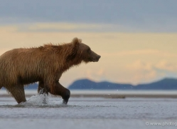 brown-bear-alaska-1308-copyright-photographers-on-safari-com