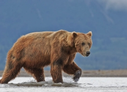 brown-bear-alaska-1309-copyright-photographers-on-safari-com