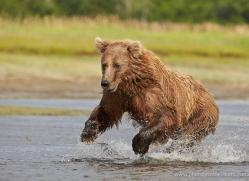 brown-bear-alaska-1313-copyright-photographers-on-safari-com