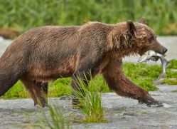 brown-bear-alaska-1315-copyright-photographers-on-safari-com