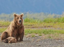 brown-bear-alaska-1318-copyright-photographers-on-safari-com