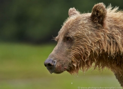brown-bear-alaska-1319-copyright-photographers-on-safari-com