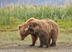 brown-bear-alaska-1320-copyright-photographers-on-safari-com
