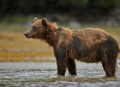 brown-bear-alaska-1321-copyright-photographers-on-safari-com