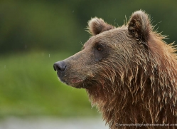 brown-bear-alaska-1322-copyright-photographers-on-safari-com