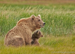 brown-bear-alaska-1323-copyright-photographers-on-safari-com