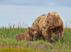 brown-bear-alaska-1325-copyright-photographers-on-safari-com
