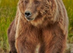 brown-bear-alaska-1326-copyright-photographers-on-safari-com