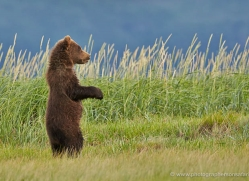 brown-bear-alaska-1327-copyright-photographers-on-safari-com