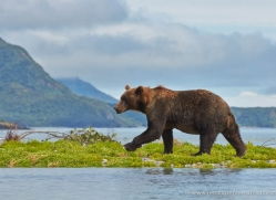 brown-bear-alaska-1328-copyright-photographers-on-safari-com