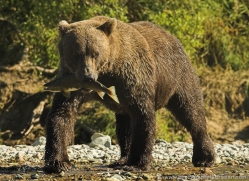 brown-bear-alaska-1330-copyright-photographers-on-safari-com