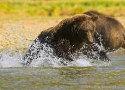 brown-bear-alaska-1332-copyright-photographers-on-safari-com