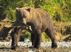 brown-bear-alaska-1334-copyright-photographers-on-safari-com