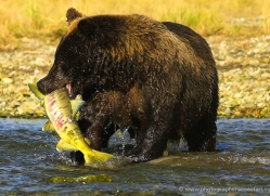 brown-bear-alaska-1335-copyright-photographers-on-safari-com