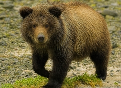 brown-bear-alaska-1339-copyright-photographers-on-safari-com