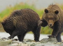 brown-bear-alaska-1340-copyright-photographers-on-safari-com
