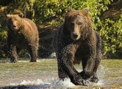 brown-bear-alaska-1342-copyright-photographers-on-safari-com