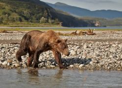 brown-bear-alaska-1344-copyright-photographers-on-safari-com