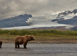 brown-bear-alaska-1345-copyright-photographers-on-safari-com