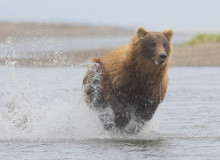 brown-bear-alaska-1347-copyright-photographers-on-safari-com