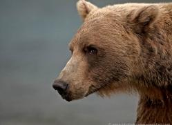 brown-bear-alaska-1348-copyright-photographers-on-safari-com