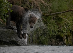 brown-bear-alaska-1349-copyright-photographers-on-safari-com