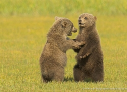 brown-bear-alaska-1351-copyright-photographers-on-safari-com