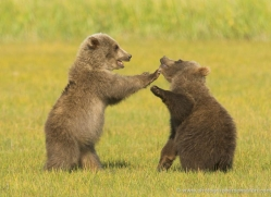 brown-bear-alaska-1352-copyright-photographers-on-safari-com
